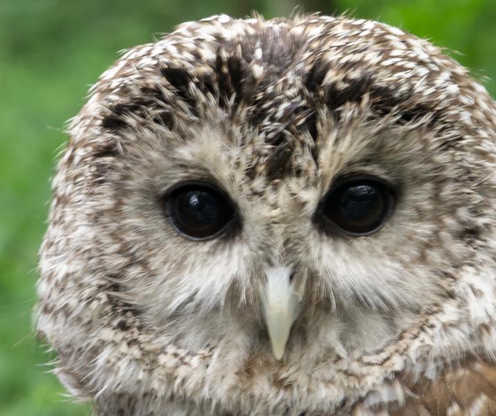 2013 lifl mt morris owl