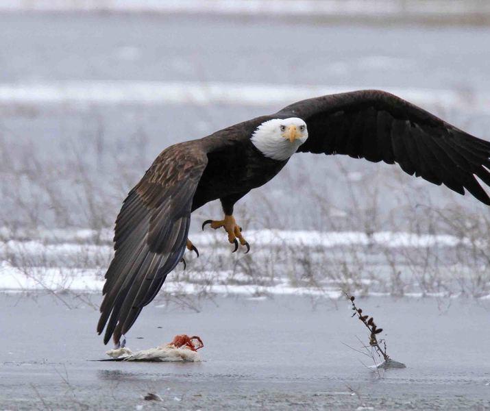 Bald eagle 1   mark watson